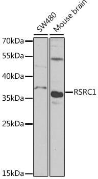 RSRC1 Antibody in Western Blot (WB)