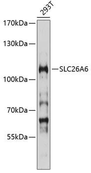 SLC26A6 Antibody in Western Blot (WB)