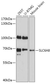 SLC6A8 Antibody in Western Blot (WB)