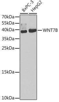 WNT7B Antibody in Western Blot (WB)