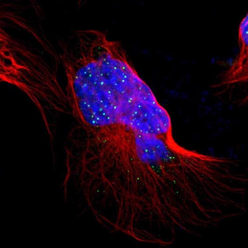 RAP1 Antibody in Immunocytochemistry (ICC/IF)