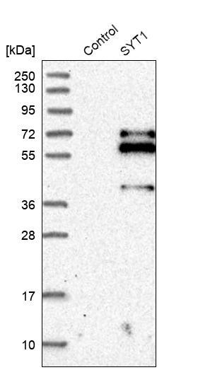 Synaptotagmin 1 Antibody in Western Blot (WB)