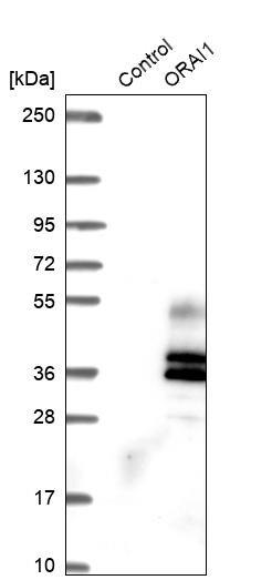 ORAI1 Antibody in Western Blot (WB)