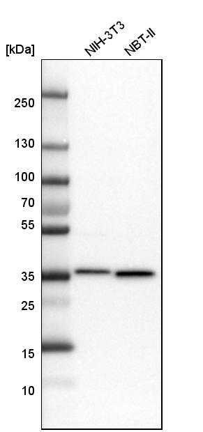 MDH2 Antibody in Western Blot (WB)