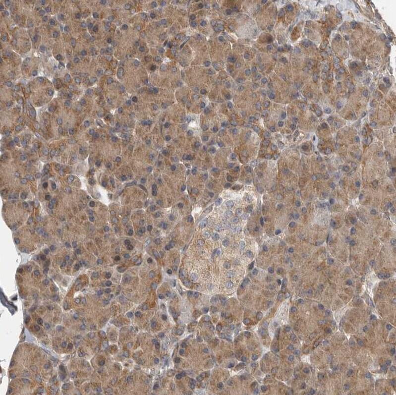 OXR1 Antibody in Immunohistochemistry (IHC)