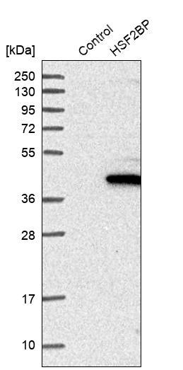HSF2BP Antibody in Western Blot (WB)