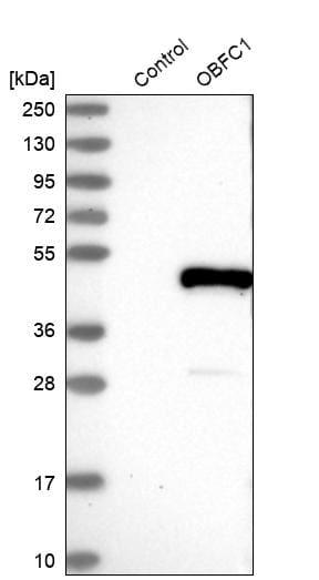 OBFC1 Antibody in Western Blot (WB)