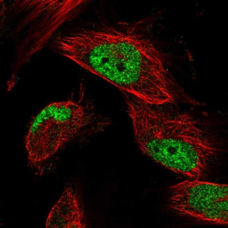 OBFC1 Antibody in Immunocytochemistry (ICC)
