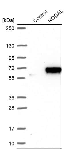 Nodal Antibody in Western Blot (WB)