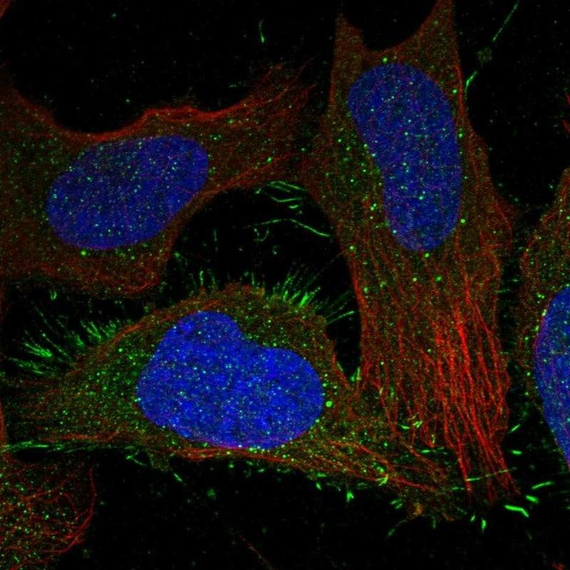 CALCRL Antibody in Immunocytochemistry (ICC)