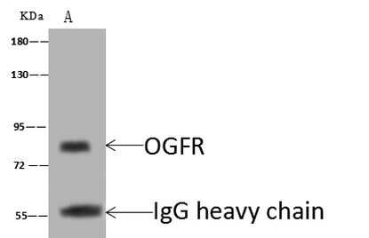 OGFR Antibody in Immunoprecipitation (IP)