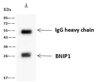 BNIP1 Antibody in Immunoprecipitation (IP)