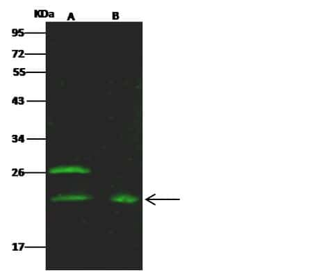 Epo Antibody in Western Blot (WB)