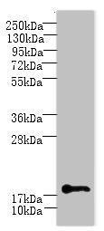 C1orf123 Antibody in Western Blot (WB)