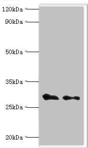 COPS7A Antibody in Western Blot (WB)