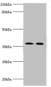 CA14 Antibody in Western Blot (WB)