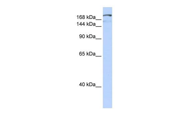 NFAT5 Antibody in Western Blot (WB)