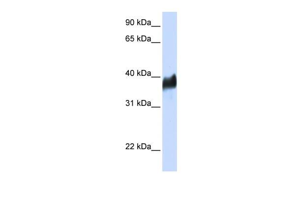 CLN8 Antibody in Western Blot (WB)