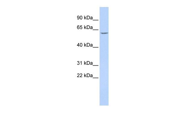 CES7 Antibody in Western Blot (WB)
