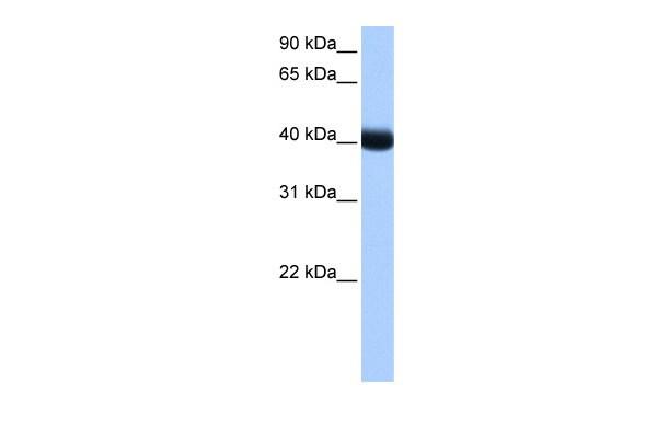 CK1 gamma-3 Antibody in Western Blot (WB)