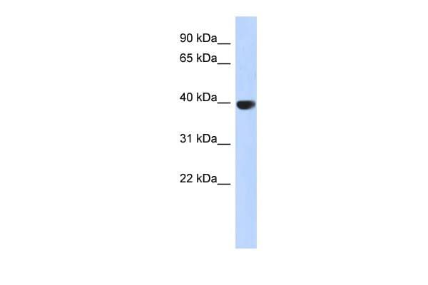 Aurora C Antibody in Western Blot (WB)