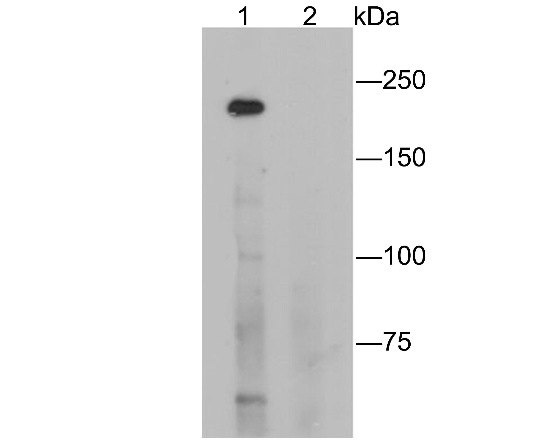 CD35 Antibody in Western Blot (WB)