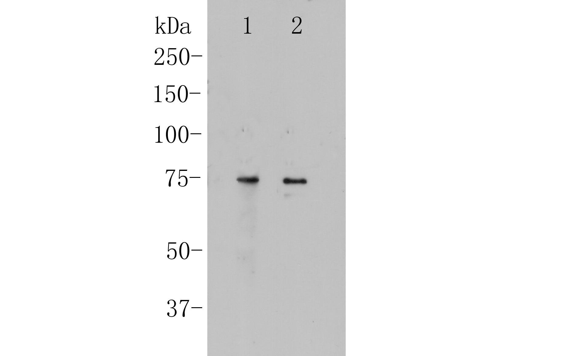CNGA4 Antibody in Western Blot (WB)