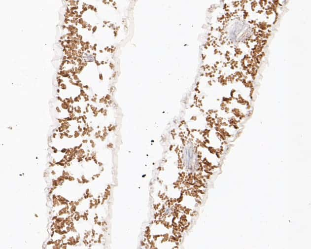 PASTICCINO 2 Antibody in Immunohistochemistry (Paraffin) (IHC (P))