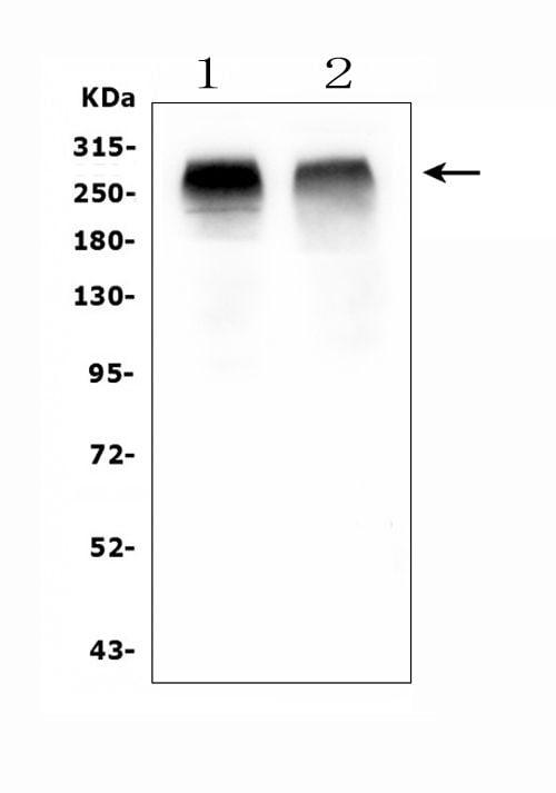 ACACB Antibody in Western Blot (WB)