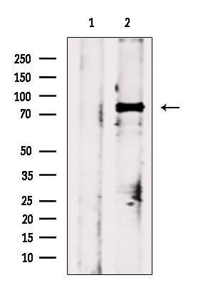 Phospho-HSF1 (Ser303) Antibody in Western Blot (WB)