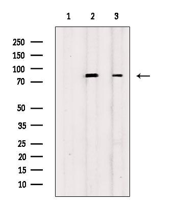 Phospho-RSK1/RSK2/RSK3/RSK4 (Ser221, Ser227, Ser218, Ser232) Antibody in Western Blot (WB)