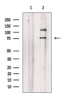 Phospho-SAMHD1 (Thr592) Antibody in Western Blot (WB)