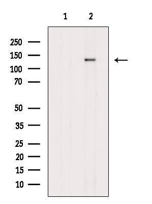 Phospho-ZEB2 (Ser784) Antibody in Western Blot (WB)