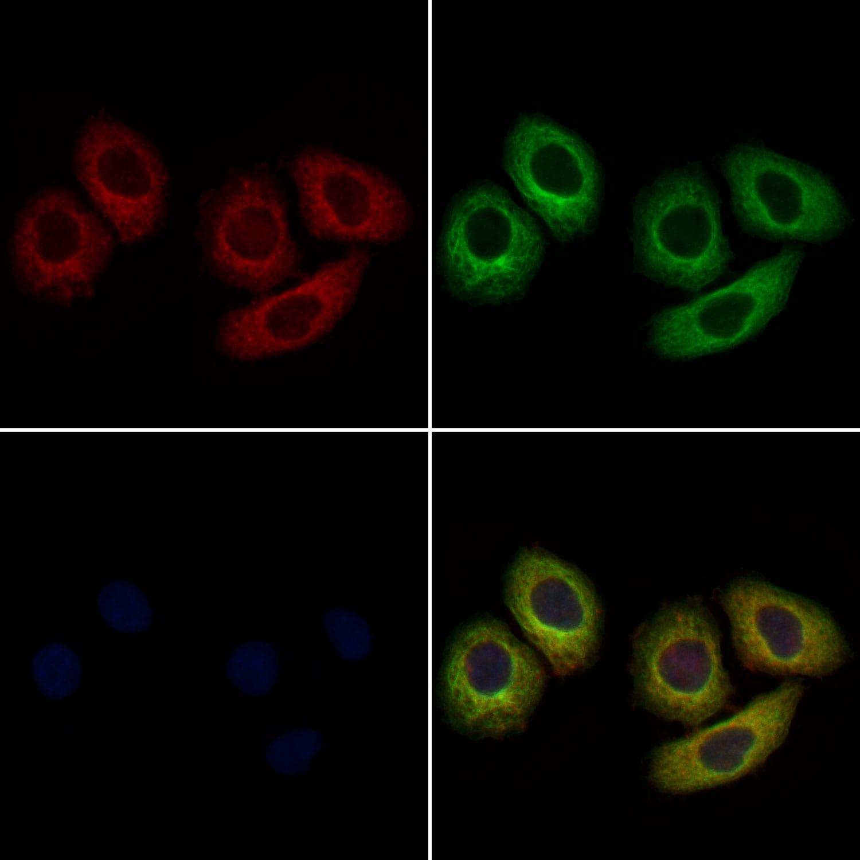 ACVR2A Antibody in Immunocytochemistry (ICC/IF)