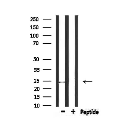 CD53 Antibody in Western Blot (WB)