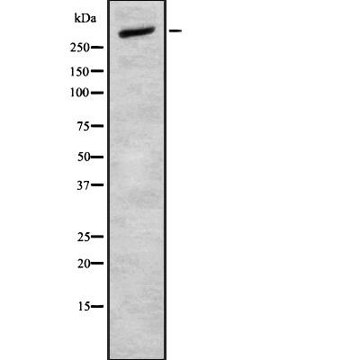 CELSR2 Antibody in Western Blot (WB)