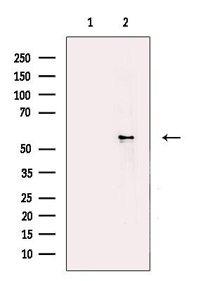 DHCR7 Antibody in Western Blot (WB)