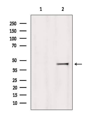 HOMER1 Antibody in Western Blot (WB)