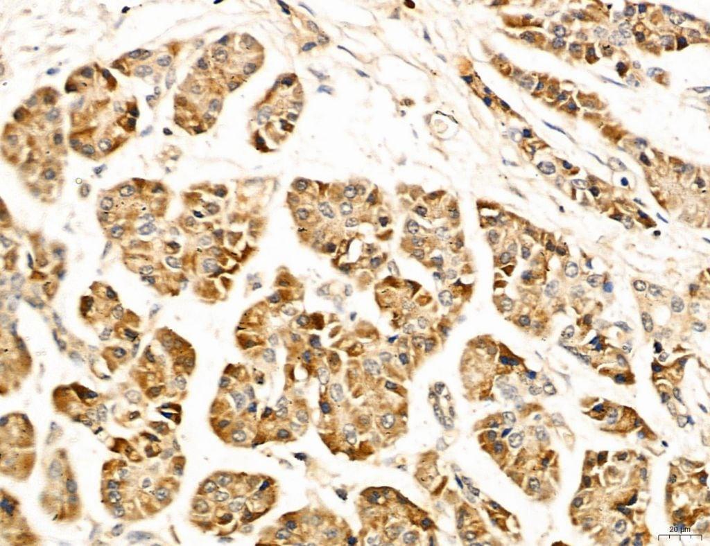 LPO Antibody in Immunohistochemistry (Paraffin) (IHC (P))