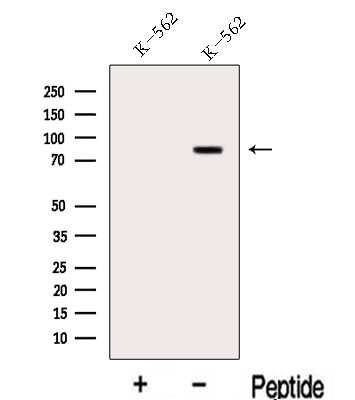 LPO Antibody in Western Blot (WB)