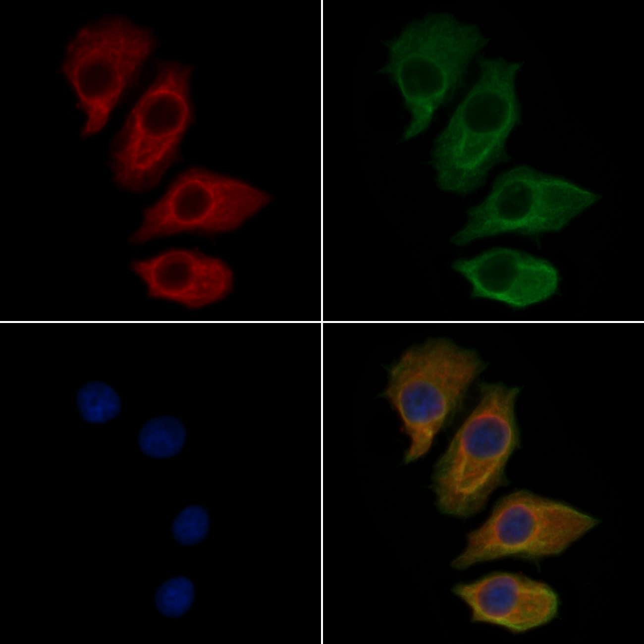 SCARF1 Antibody in Immunocytochemistry (ICC/IF)