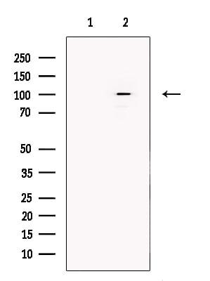 SULF1 Antibody in Western Blot (WB)