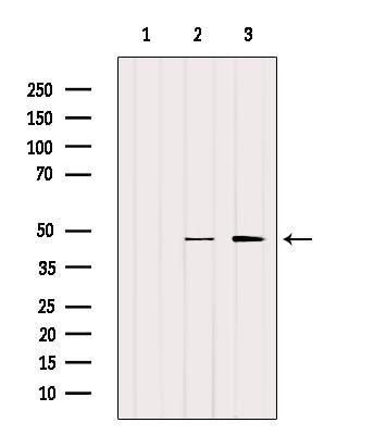 SLC7A11 Antibody in Western Blot (WB)
