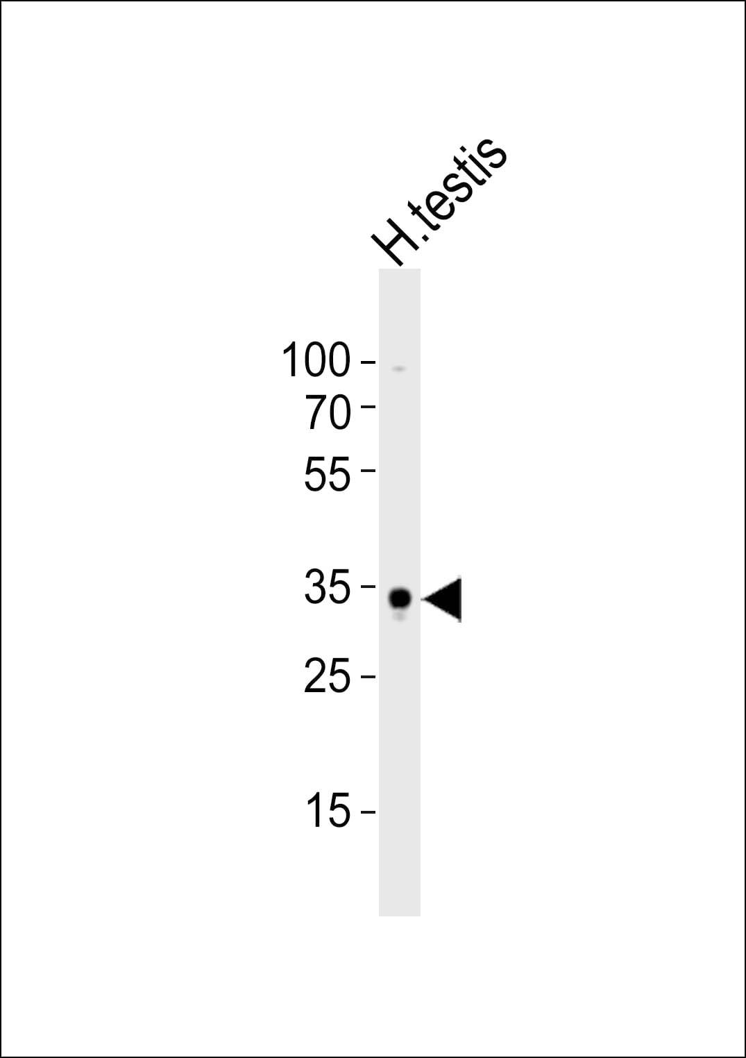 SOX15 Antibody in Western Blot (WB)