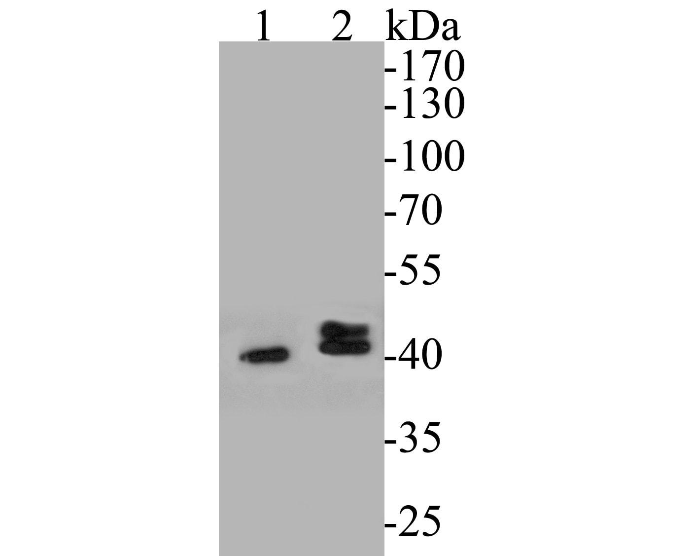 P2X6 Antibody in Western Blot (WB)
