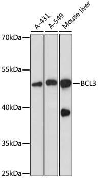 Bcl-3 Antibody in Western Blot (WB)