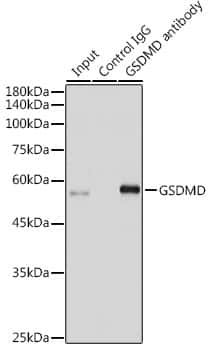 GSDMD Antibody in Immunoprecipitation (IP)
