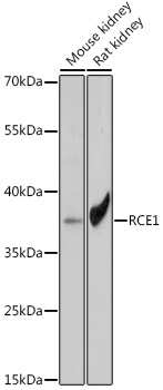 RCE1 Antibody in Western Blot (WB)
