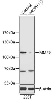 MMP9 Antibody in Western Blot (WB)