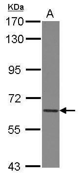 COL4A3BP Antibody in Western Blot (WB)